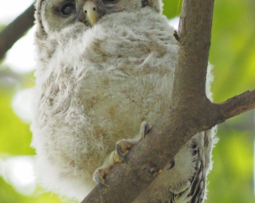 Clark Lake Owls
