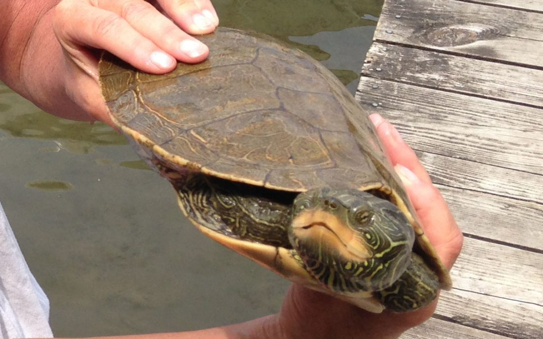 Clark Lake Turtles Are Still with Us