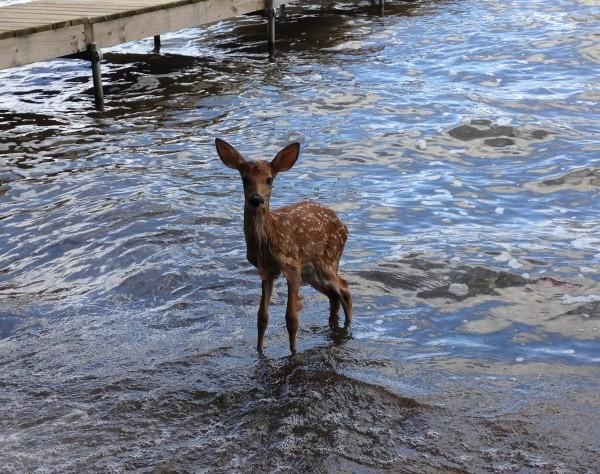 Fawn Takes a Swim