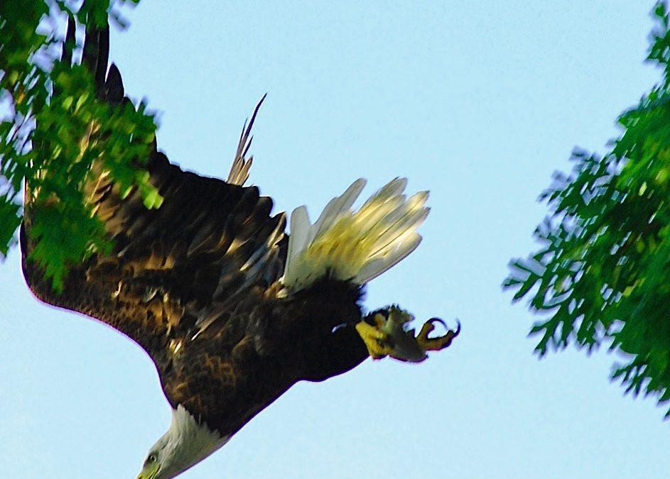 Eagle Sighting Near Mud Point
