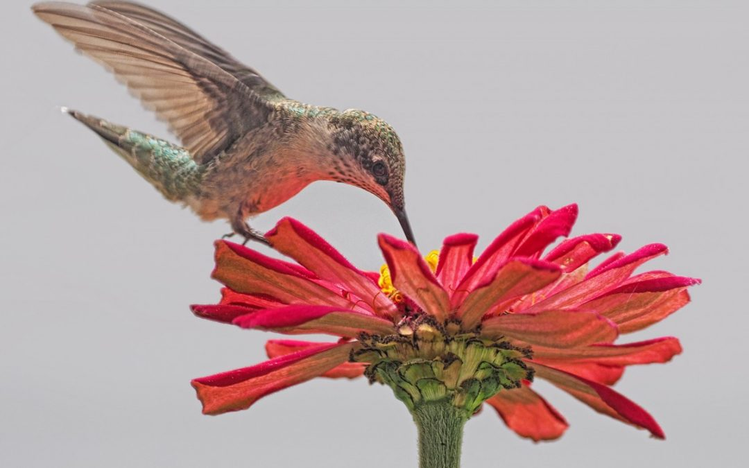 Hummingbirds at Clark Lake
