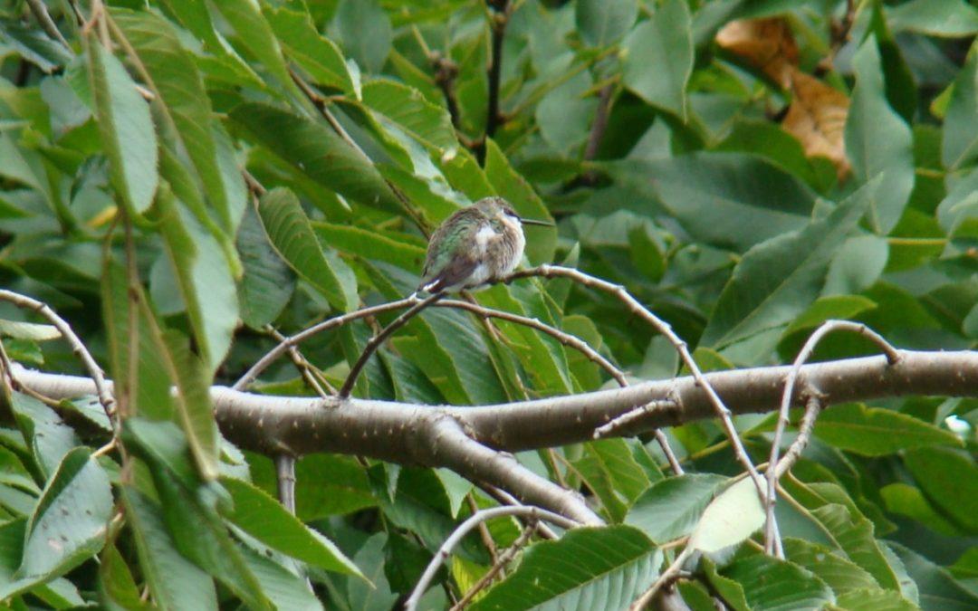 Are Hummingbirds Always Active?