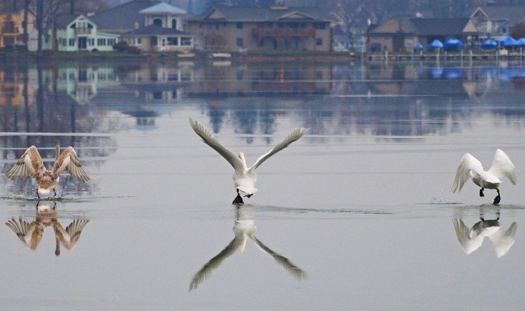 Swan Family Teaching Moment?
