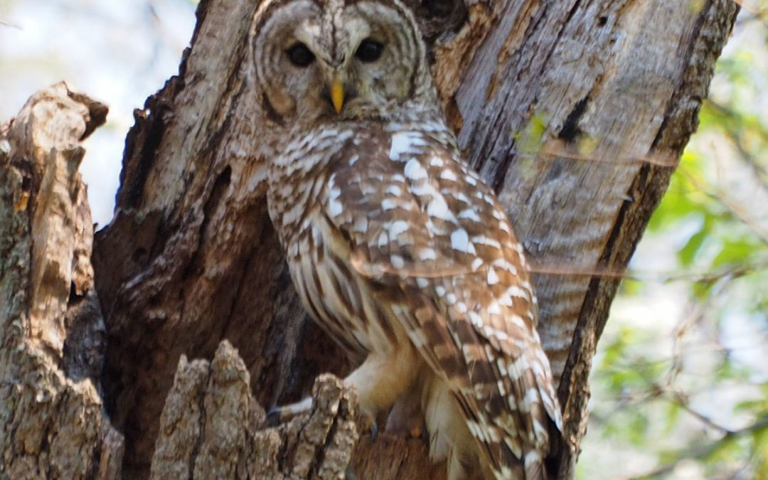 Barred Owls Return to Clark Lake Nest