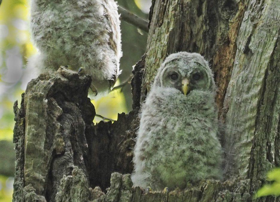 Barred Owls Update
