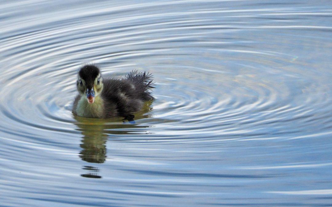 Clark Lake's Wood Ducks