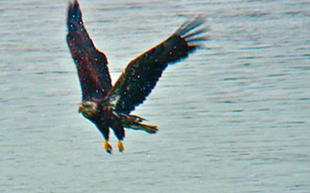 Eagle vs Duck Video