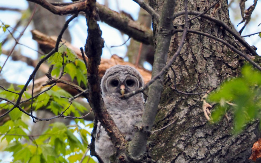 An Owlet Meets Its Challenge