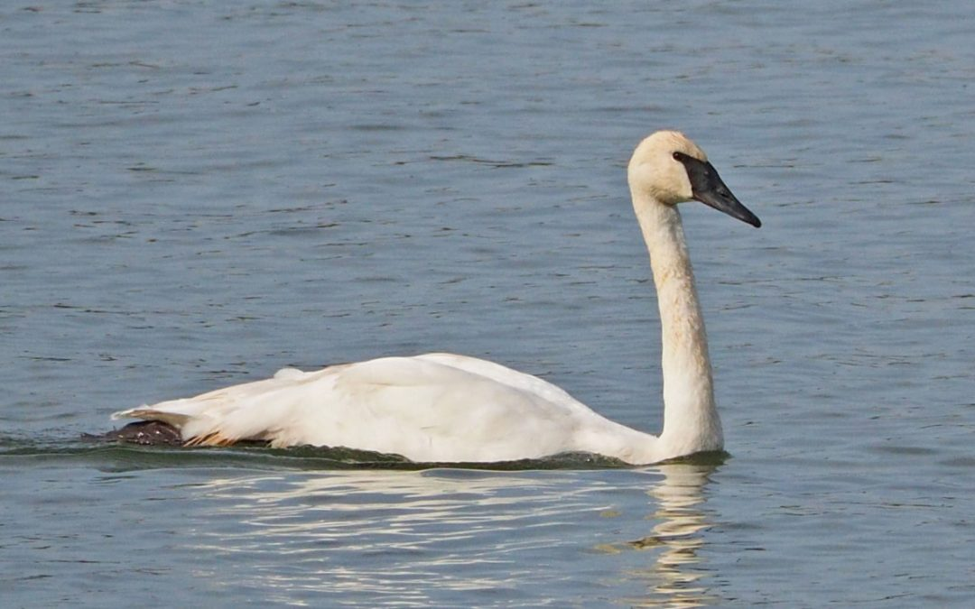A New Swan in Charge