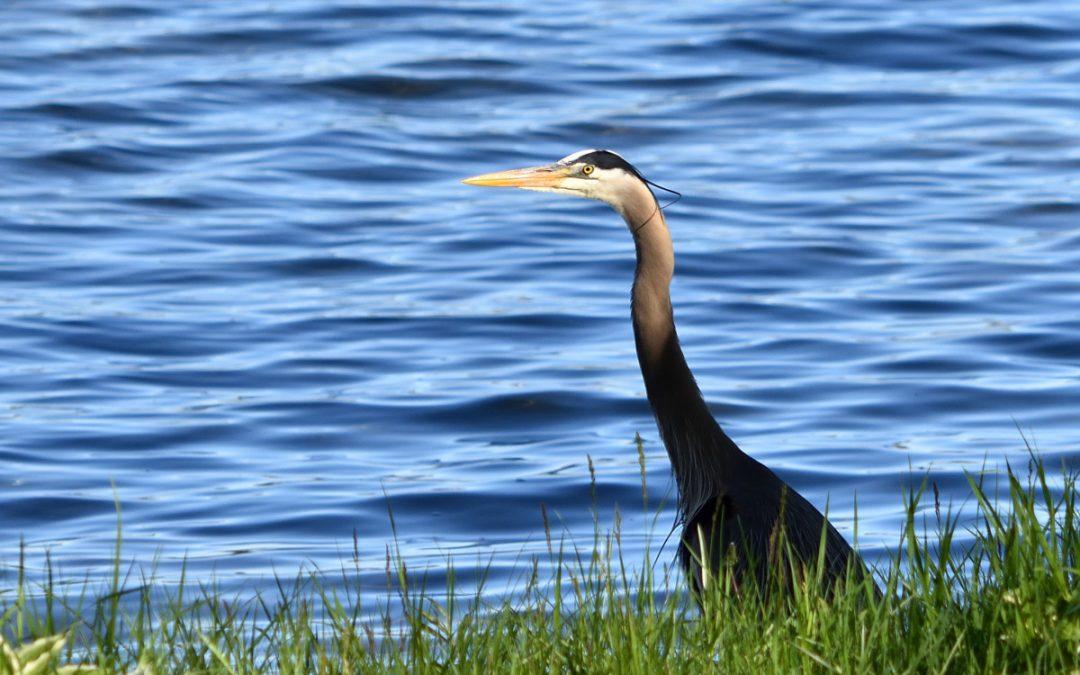 Great Blue Heron at Clark Lake