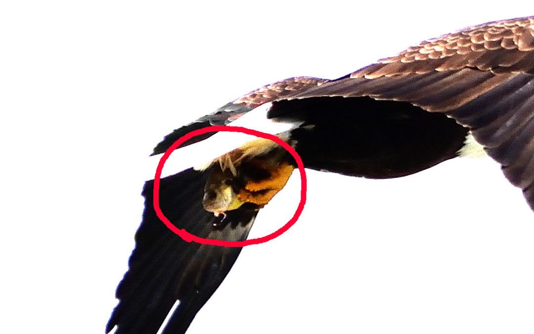An Eagle Eye on the Eagle