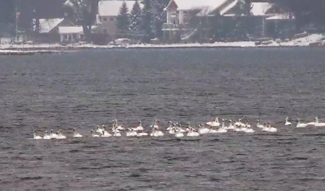 Tundra Swans Visit Clark Lake