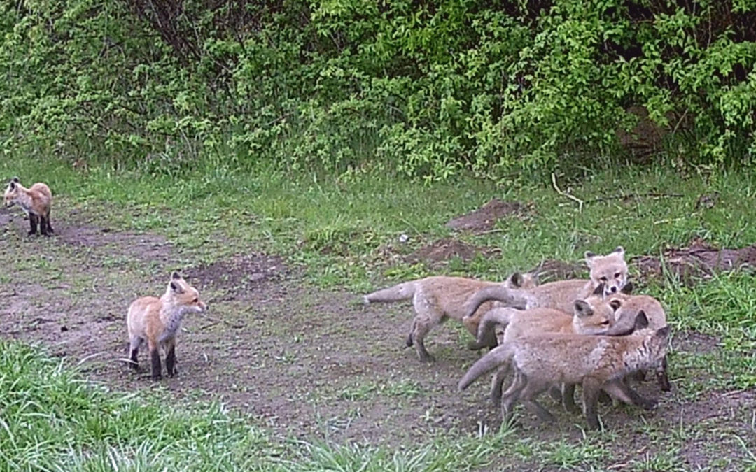 Clark Lake's Foxes